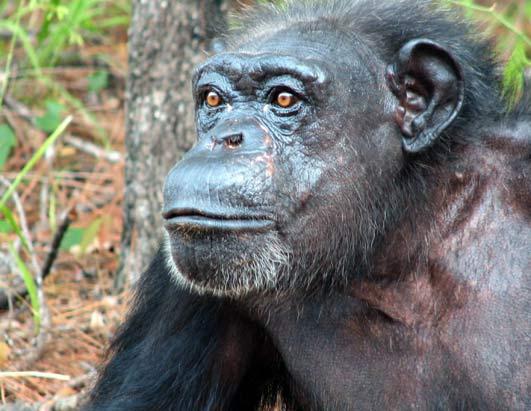 Chimp Retirement Sanctuary