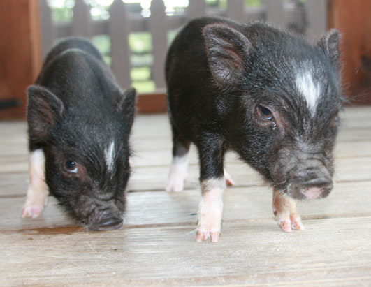 Miniature Potbellied Pigs have