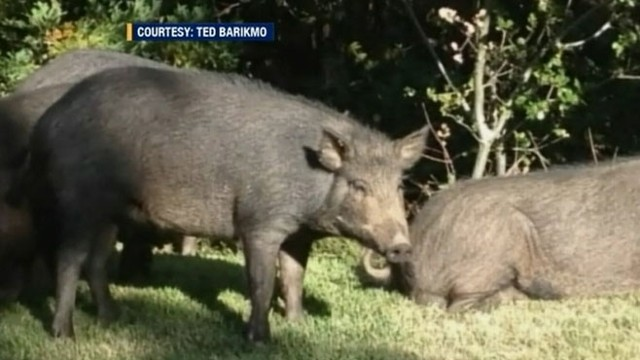VIDEO: Almaden Country Club manager says the pigs are damaging the property in search of food and water.