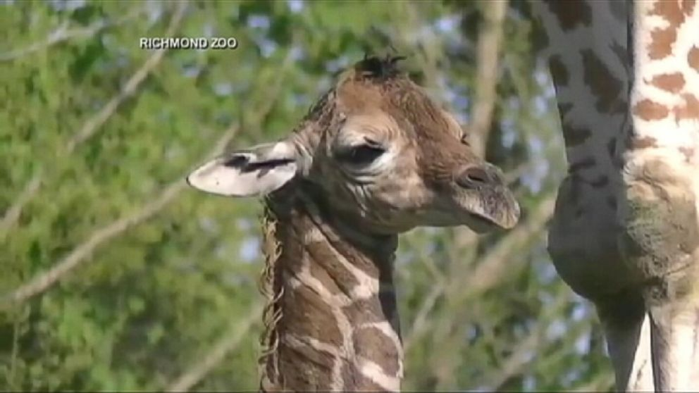 VIDEO: A baby giraffe is born at the Richmond Zoo.