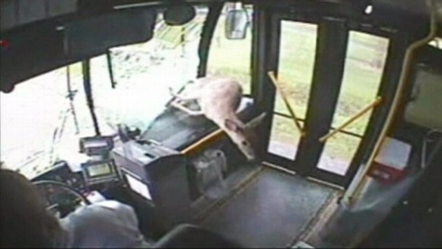 VIDEO: A deer in Pennsylvania flew through a moving buss windshield and escaped with no one injured.