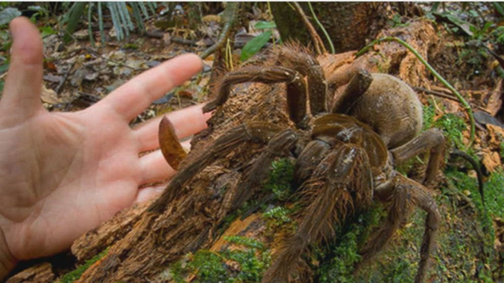 Giant Rainforest Spider Rivals Puppies for Size Video - ABC News