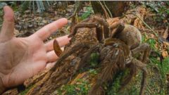 VIDEO: Spotted in Guyana, the South American Goliath birdeater feasts on frogs and insects.