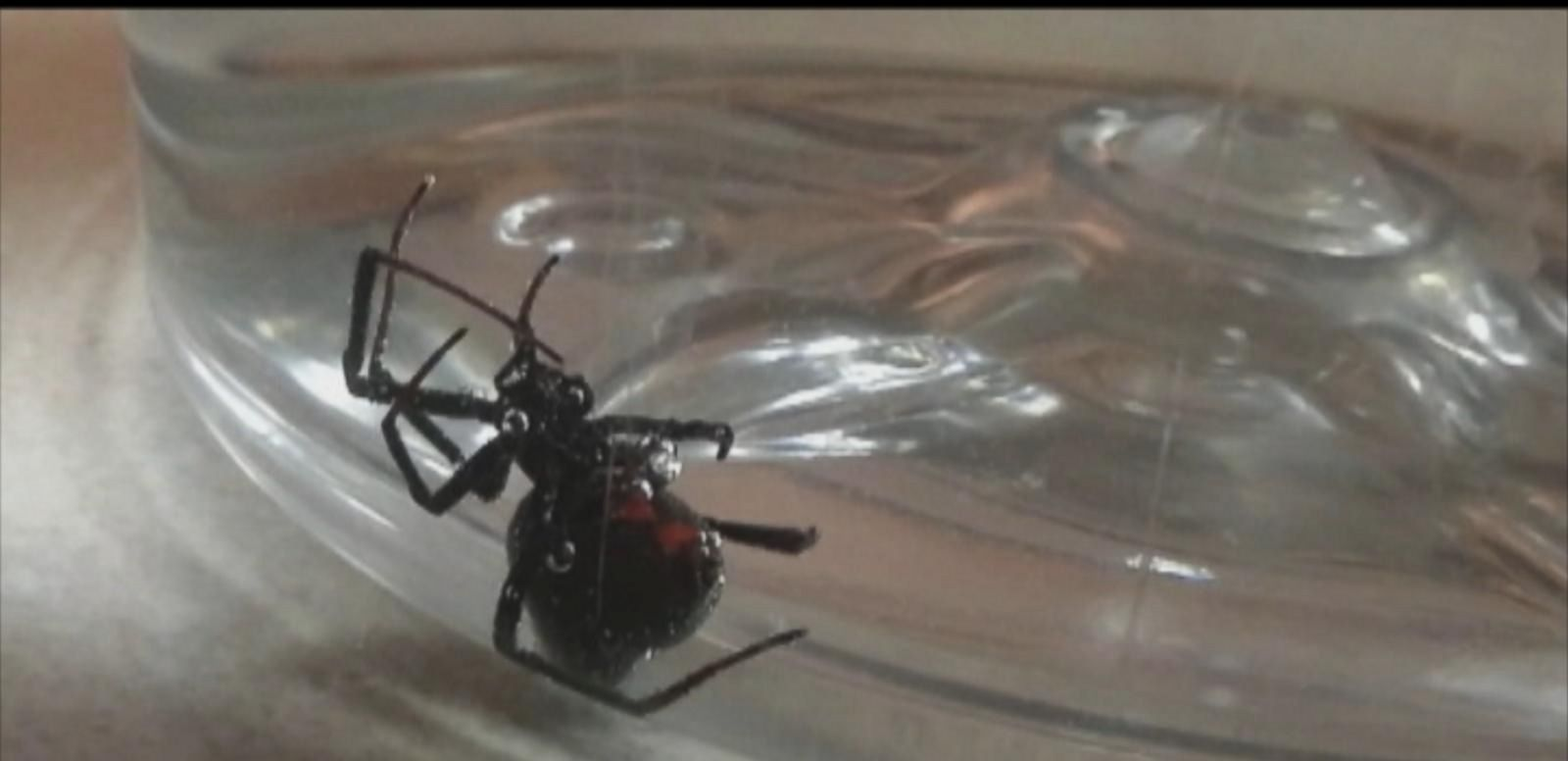 VIDEO: Apparent Black Widow Spider Found Amongst Michigan Woman's Grapes