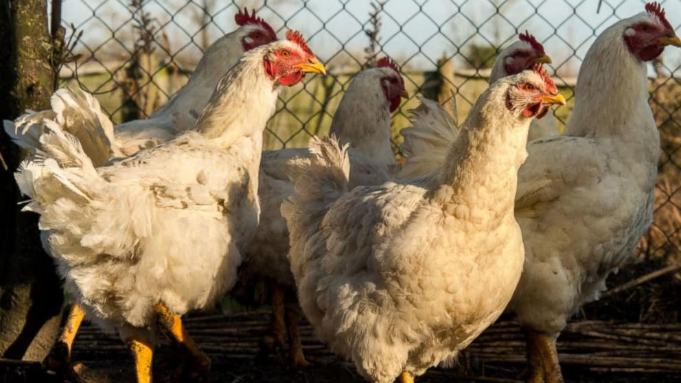 Bird Flu  Symptoms  Causes   Risk Factors Morning Ag Clips