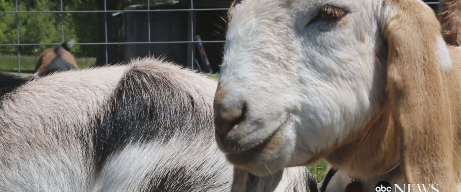 VIDEO: Goat yoga is the latest trend, and it's here to namaste