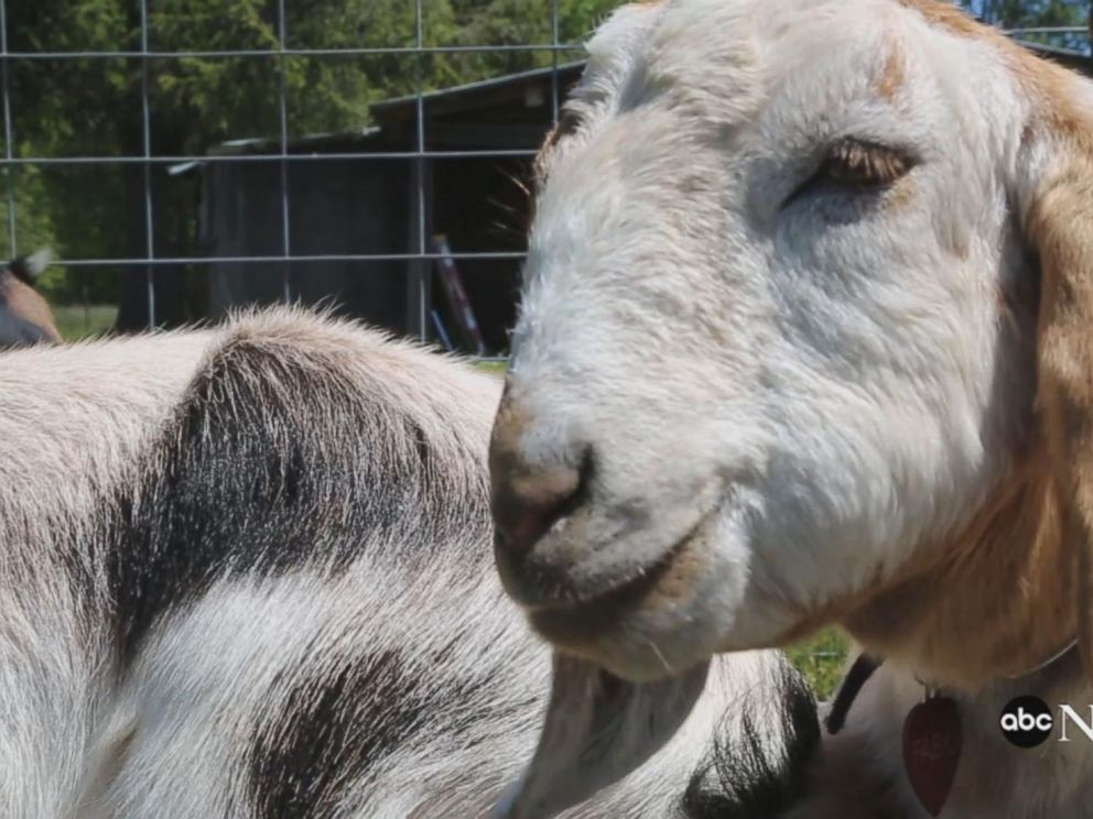 VIDEO: Goat yoga is the latest trend, and its here to namaste