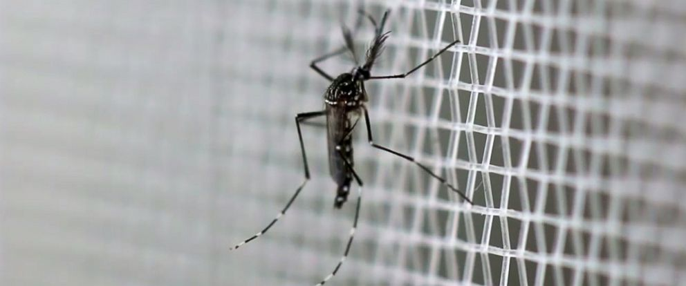 "PHOTO: Mosquitoes are created in a lab with a ""self-limiting"" gene."