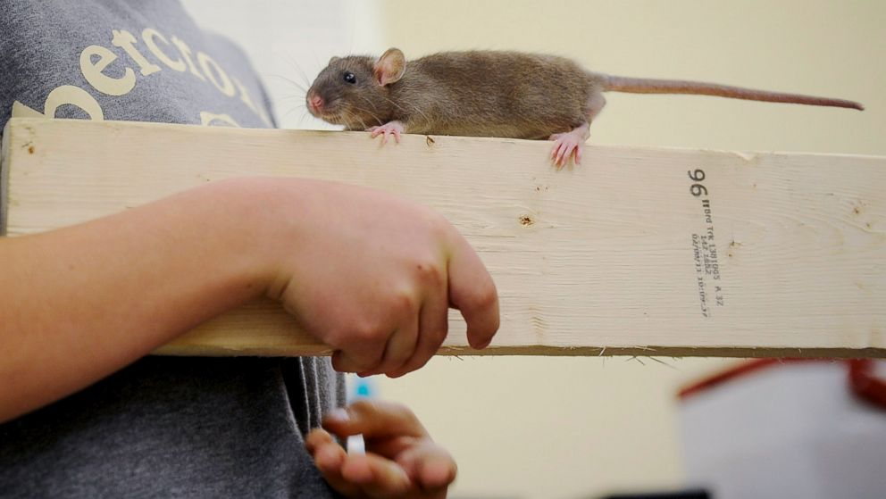 Seoul Virus Spread by Pet Rats Under Investigation in Multiple States