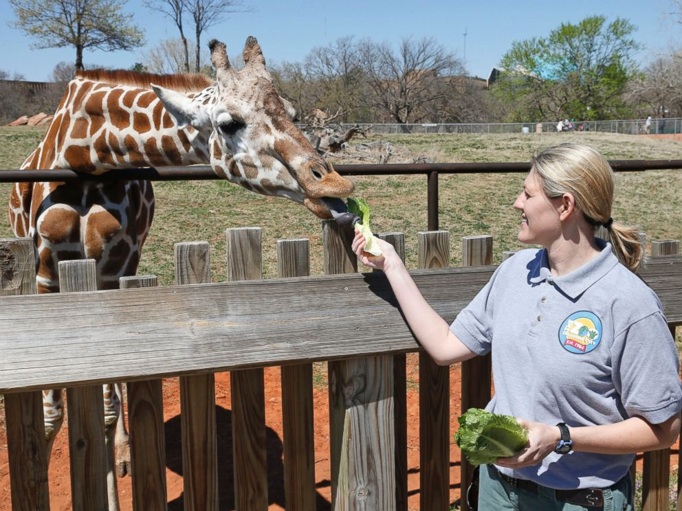 PHOTO: Dr. Gretchen Cole, associate veterinarian at the Oklahoma City Zoo, feeds Ellie, a giraffe at the zoo, in Oklahoma City, April 4, 2014.