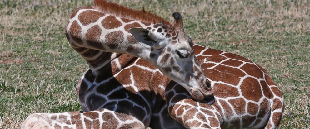 PHOTO: Six-month-old Kyah, a giraffe at the Oklahoma City Zoo, reaches around to lick her leg at the zoo in Oklahoma City, April 4, 2014.