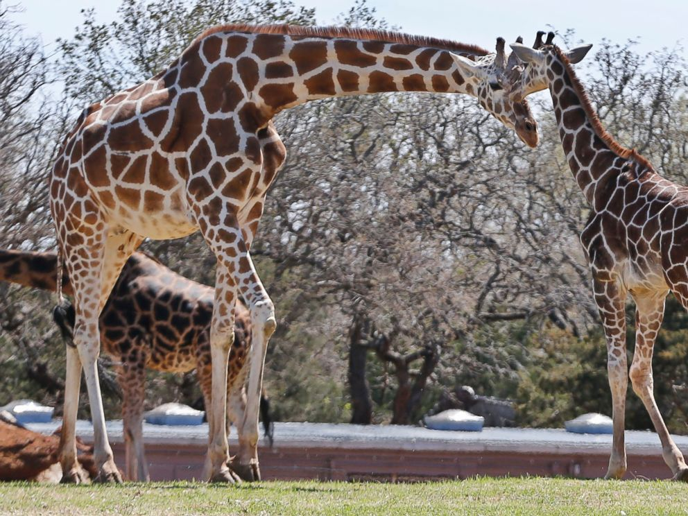 PHOTO: Six-month-old Kyah, a giraffe at the Oklahoma City Zoo, stands next to her mother, Ellie, at the zoo in Oklahoma City, April 4, 2014.