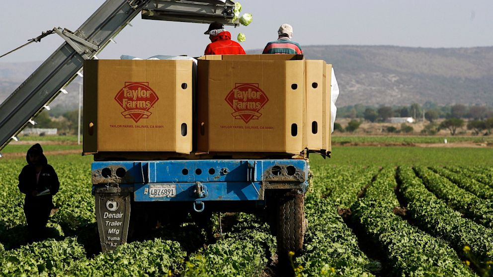 Workers pack lettuces at a Taylor Farms field in the town of Doctor Mora, Mexico, March 26, 2008. An FDA investigation has confirmed that the salad mix identified by Iowa and Nebraska as being linked to the outbreak of cyclosporiasis in those states was supplied by Taylor Farms de Mexico, S. de R.L.