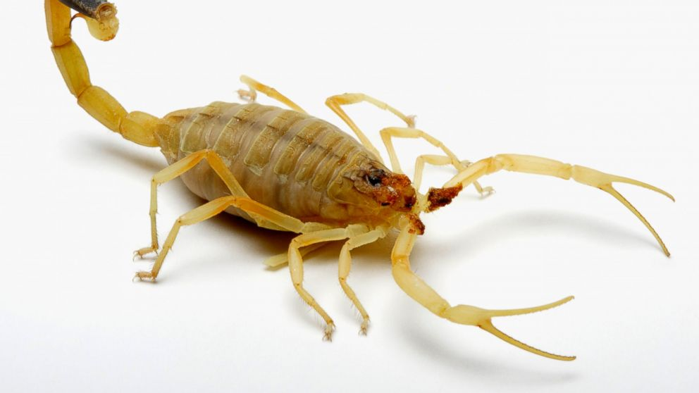 PHOTO: Deathstalker Scorpion.