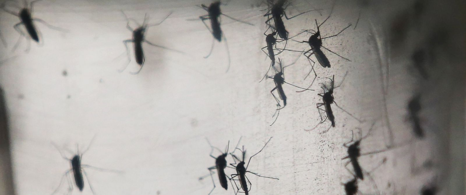 PHOTO: Aedes aegypti mosquitoes are seen in a lab at the Fiocruz institute on Jan. 26, 2016 in Recife, Brazil.