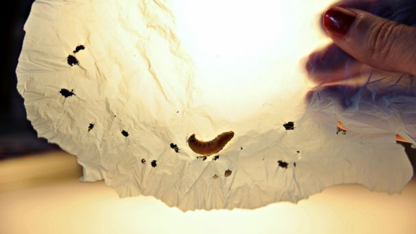 PHOTO: A handout picture released by the Spanish National Research Council (CSIC) shows a moth caterpillar, commonly bred to provide fish bait, feasting on a plastic bag as part of a scientific experiment, April 17, 2017, in Santander, Spain.