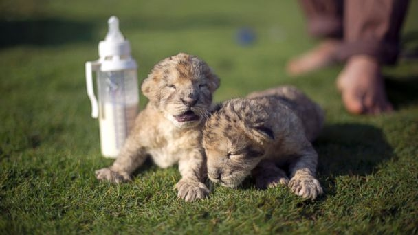 GTY baby lion cubs 03 jef 131121 16x9 608 Days Old Lion Cubs in Gaza Strip Have Died