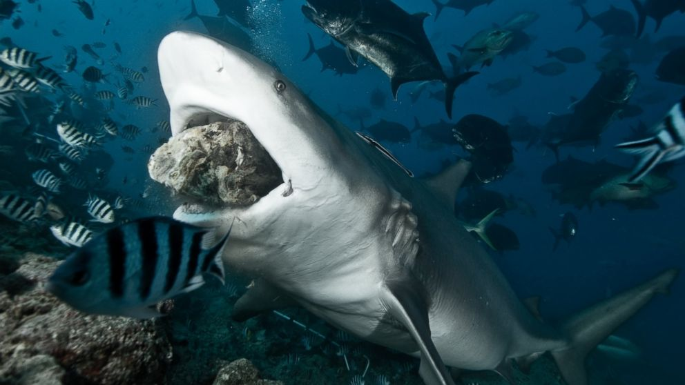 PHOTO: A bull shark takes bait.