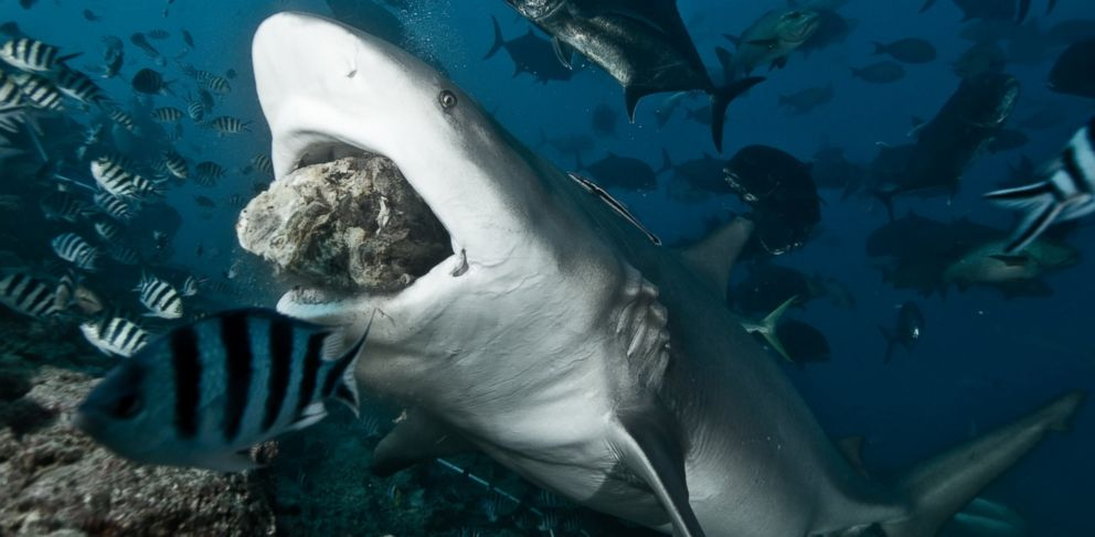 PHOTO: A bull shark is seen in this undated file photo.
