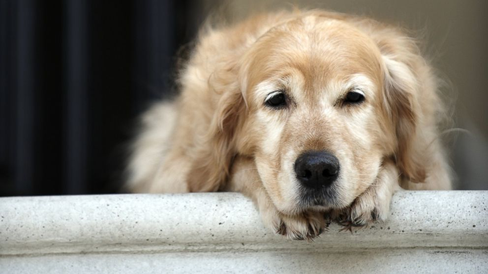 PHOTO: More than 2.8 million dog owners a year give their pet Prozac.