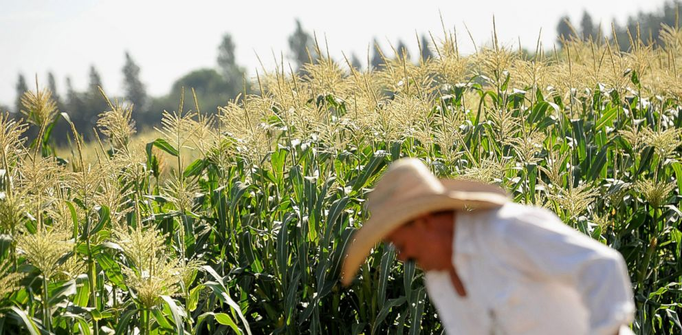 PHOTO: A worker tends to corn crops at the Monsanto Co. test field in Woodland, California, Aug. 10, 2012.