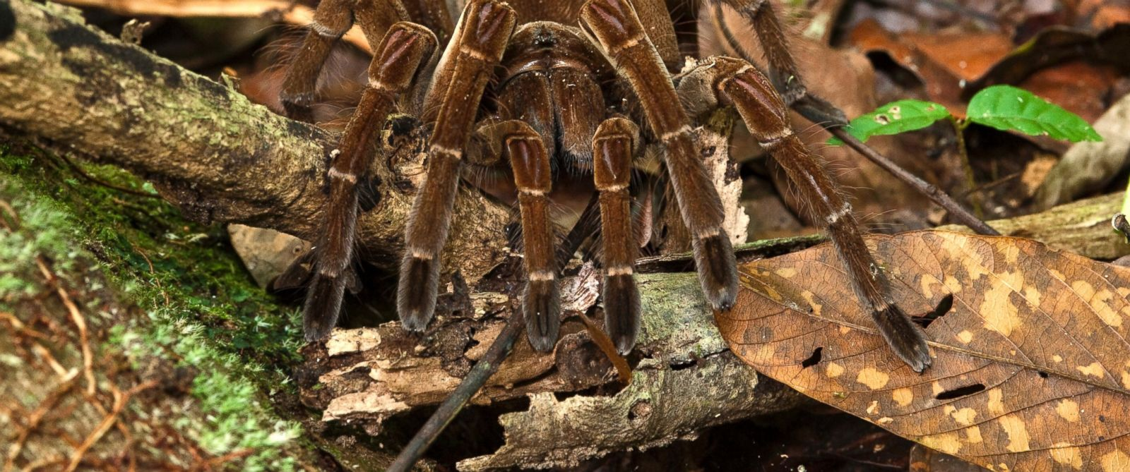PHOTO: The South American Goliath birdeater has the body size of a fist and a leg span the size of a small child.