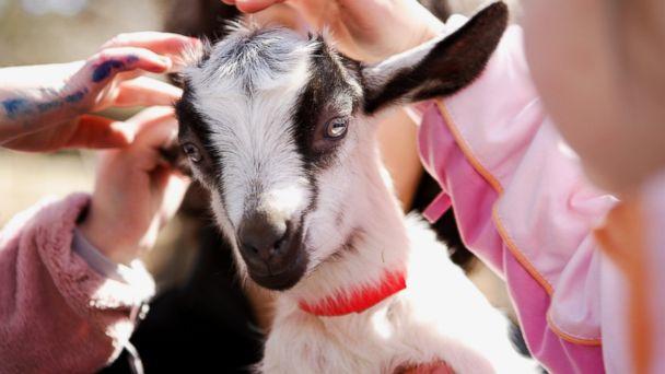 GTY petting zoo e coli lpl 131028 16x9 608 E. Coli Outbreak Tied to Minn. Pumpkin Farms Petting Zoo