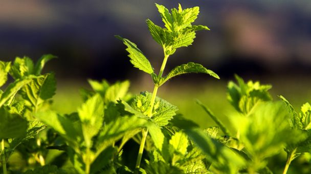 PHOTO: Stinging nettle my help fight allergies.