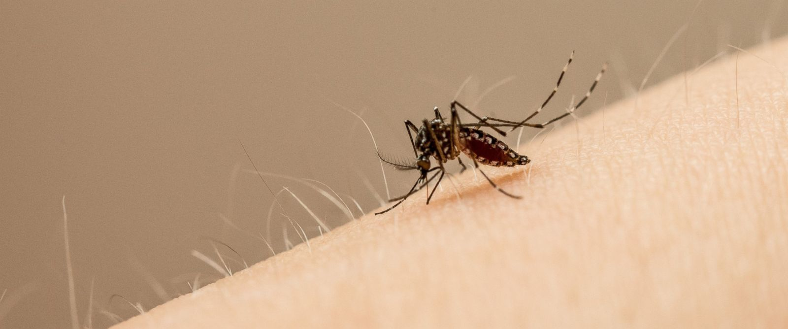 PHOTO: Scientists discovered mosquitoes may be able to transmit multiple viruses at once.