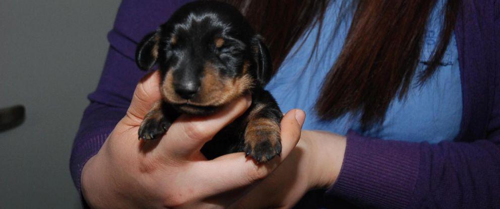 PHOTO: Mini Winnie is a clone of an elderly dog named Winnie, a 12-year-old dachshund.
