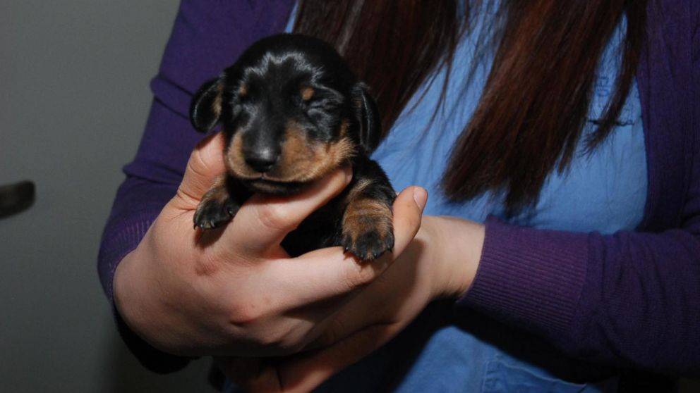 PHOTO: Mini Winnie is a clone of an elderly dog named Winnie, a 12-year-old dachshund.