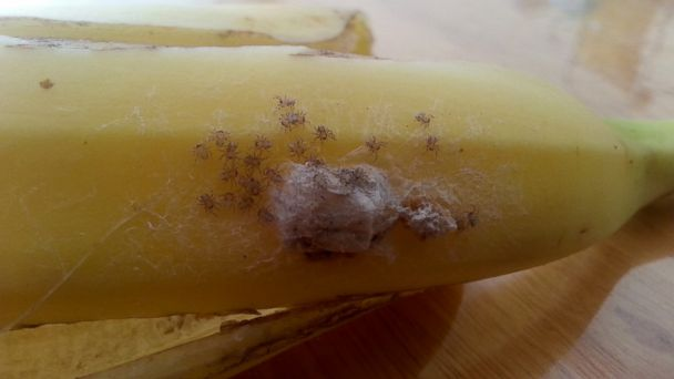HT banana spiders jef 131105 16x9 608 Potentially Deadly Spiders Found in Supermarket Banana