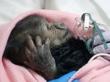 Baby Gorilla Delivered Via Rare C-Section