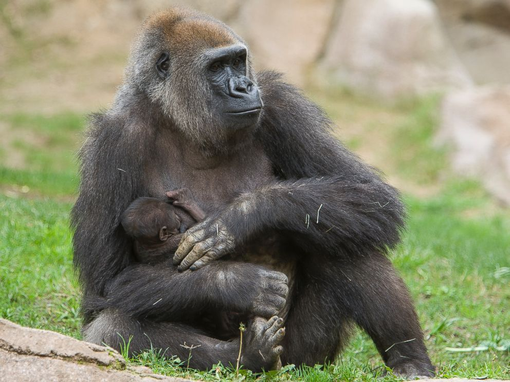 PHOTO: Imani, a Gorilla at the San Diego Zoo Safari Park, holds her newborn daughter, Mar. 25, 2014.