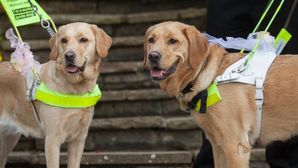 HT seeing eye dogs tk 140327 16x9 608 Blind Couple Weds Thanks to Doggone Introduction