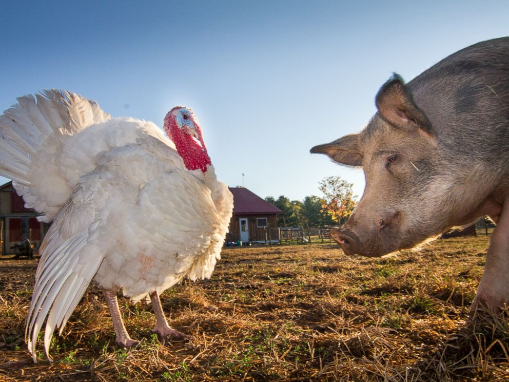 PHOTO: Lennon the Turkey and Antonio the pig exchange viewpoints at the Woodstock Farm Animal Sanctuary in Woodstock, New York.