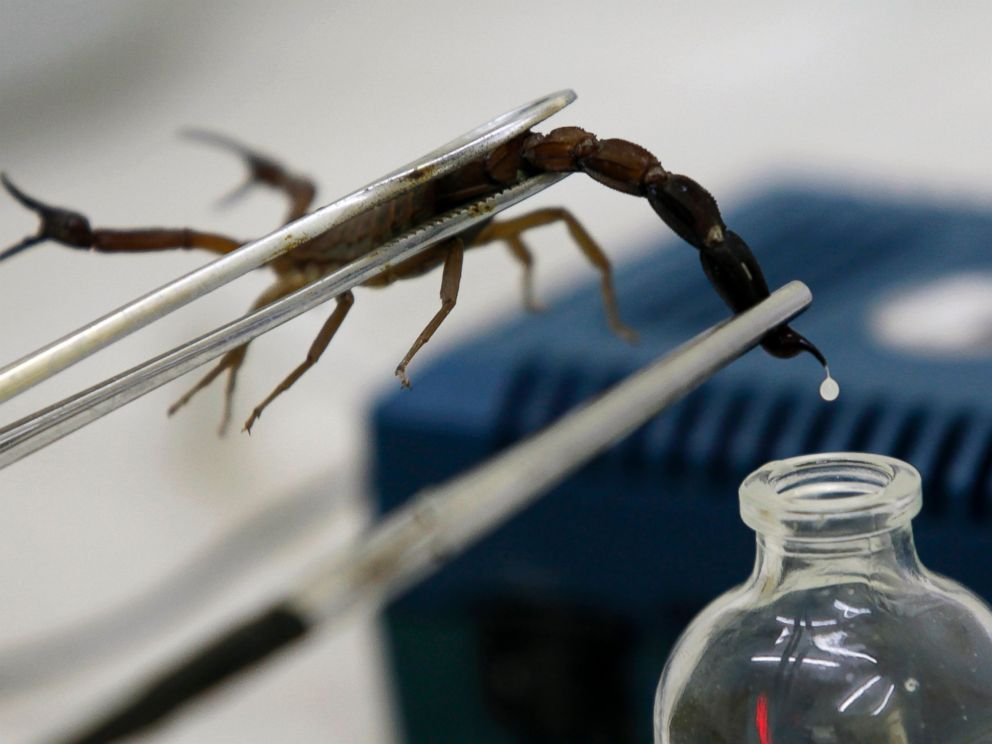 PHOTO: A technician extracts venom from a scorpion at Labiofam Laboratories in Cuba, August 5, 2011.
