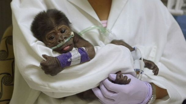abc baby gorilla mar 140318 16x9 608 Baby Gorilla Born by C Section Battling Pneumonia