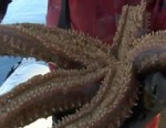 Video: Scientist use starfish for medical needs.