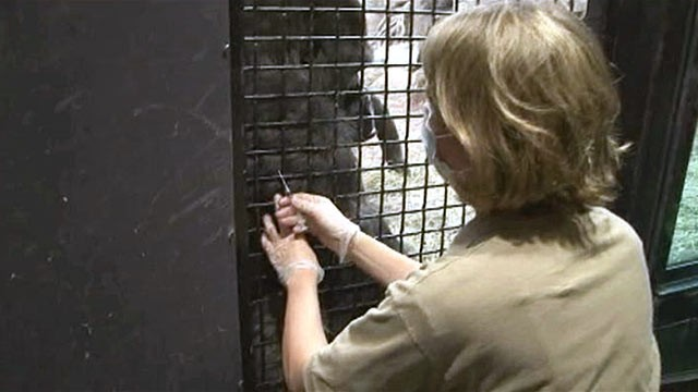 PHOTO: Zoo keeper Shannon Finn gives a Gorilla the Flu shot.