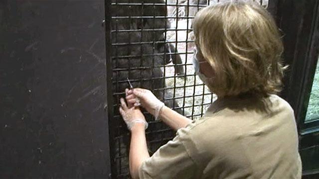 PHOTO: Zoo keeper Shannon Finn gives a Gorilla the Flu shot.