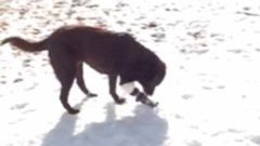 Brooke the black Lab uses her prosthetic paw to dig up her favorite ice treats.