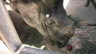 PHOTO: Rhonda the Rhino at the Los Angeles zoo underwent surgery for skin cancer on her horn.