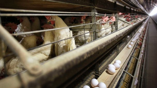 http://a.abcnews.com/images/Health/ap_iowa_chicken_farm_jc_150421_16x9_608.jpg