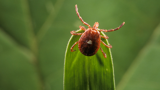 PHOTO: Lone star tick