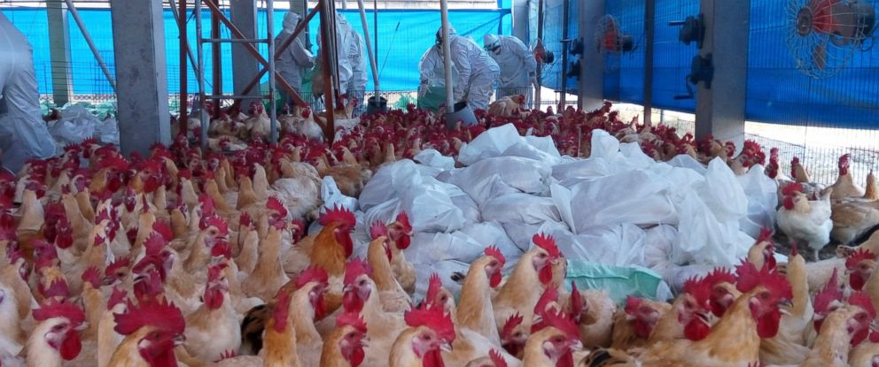 PHOTO: Health workers slaughter chicken on a poultry farm in Yunlin County, western Taiwan, Feb. 21 2017. Taiwan has culled more than 200,000 chickens and ducks since discovering its first case of H5N6 in Hualien County, Feb. 2.