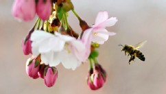 PHOTO: A bee gathers pollen from the flowers of a blossoming Japanese cherry tree in Kungstradgarden park, central Stockholm, on April 23, 2012.