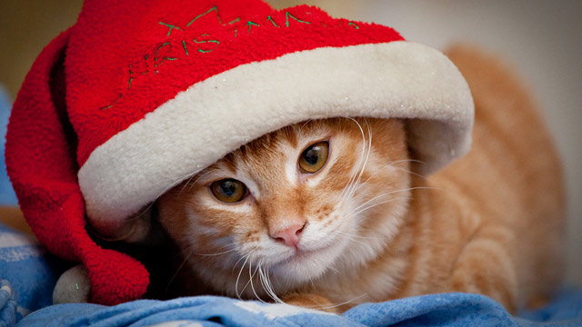 PHOTO: X-Mas cat
