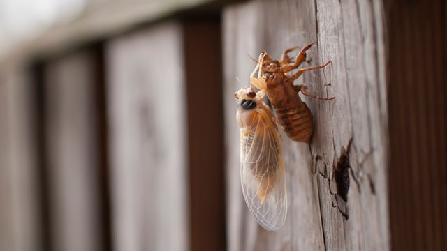 PHOTO: A 17 year periodical cicada.