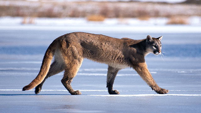PHOTO: A cougar is seen walking across a frozen body of water.